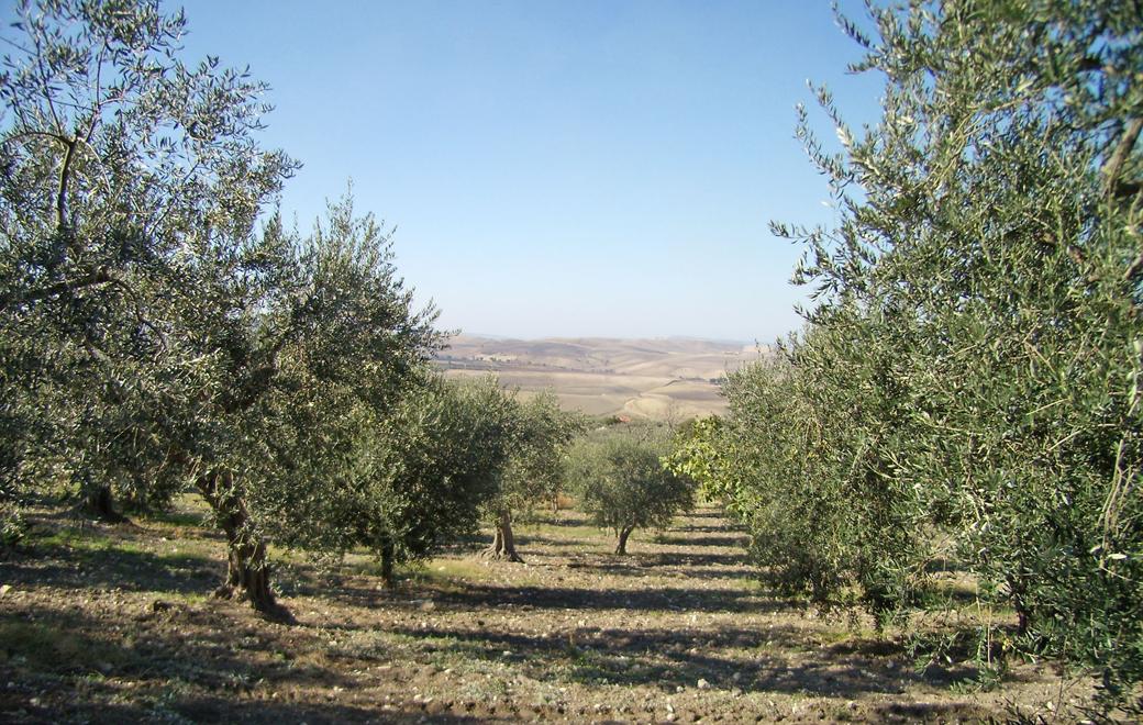 Panoramica di oliveto e olivi del Molise