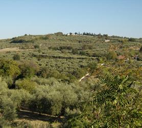 Olivi nel paesaggio collinare di Rotello. Olio Pangia nasce in questa terra del centro Italia, il Molise. Extra virgin olive oil Pangia