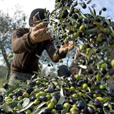 La raccolta delle olive DOP secondo metodi tradizionali e tecnologici