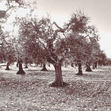 Oliveti secolare nei terreni della famiglia Pangia a Rotello - Italia