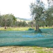 L'oliveto Pangia
